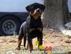 北京哪里卖罗威纳犬纯种罗威纳幼犬纯种罗威纳价格