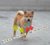 北京哪里有卖日系柴犬赛级柴犬多少钱柴犬犬舍