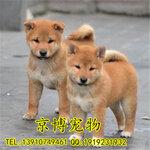 出售纯种柴犬日系柴犬多少钱柴犬犬舍