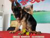 北京锤系德牧出售,纯种德牧出售,德牧幼犬出售