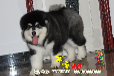 纯种阿拉斯加幼犬保证血统购犬合同健康保三年