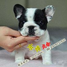 出售纯种法国斗牛犬法牛价格法牛图片北京京博犬舍直销