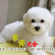 出售精品白色法系卷毛比熊赛系比熊价格北京京博犬舍