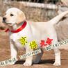 北京赛级拉布拉多犬赛级拉布拉多多少钱一只拉布拉多犬舍