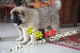 纯种高加索价格北京哪里卖高加索纯种高加索幼犬