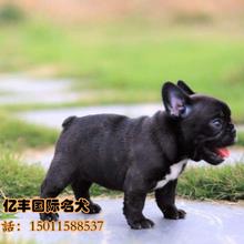 北京哪里卖纯种法国斗牛犬纯种法国斗牛犬价格亿丰犬舍直销