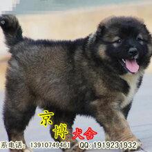 純種高加索幼犬健康保證圖片