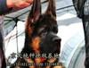 纯种德国牧羊犬价格多少德牧幼犬价钱多少