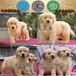 肇庆端州哪里有卖金毛犬纯种金毛犬价格端州哪里有卖金毛的狗场
