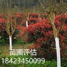 金弹子盆景评估、万年青盆景评估、紫薇盆景评估图片