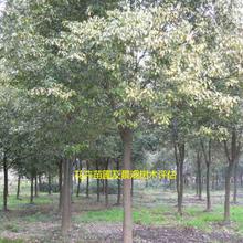 丛生木槿、核桃苗评估、金边黄杨评估、杜英评估等各种苗木评估项目