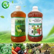 益富源催芽生根剂营养液在芹菜种植种的应用图片