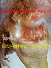 为什么鸡防了滑液囊支原体疫苗之后还会感染,该如何预防和治疗
