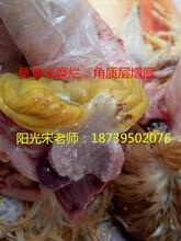 小雏鸡得了肌胃炎怎么办?中药胃康灵彻底治疗肌胃炎