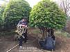 热卖移栽杨梅树基地2017春季促销湖南全冠杨梅树找小张