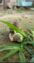 白玉蝸牛養殖技術白玉蝸牛養殖前景圖片