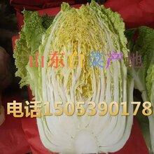 临沂沂南黄心白菜批发信息北京新三号白菜价格供应供应产地近日市场分析