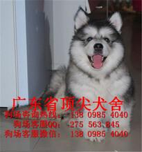 宠物狗,双录冠军血系后代赛级《阿拉斯加》雪橇犬附血统证