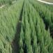 供西宁针叶类苗木和青海园林绿化苗木价格低
