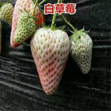 建的草莓苗妙香草莓苗草莓苗价格