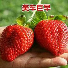 有机草莓苗草莓苗价格草莓苗移栽技术