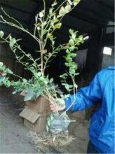 山东蓝莓苗基地全国批发蓝莓苗