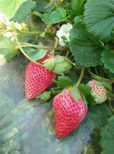草莓苗价格、2017草莓苗供应基地