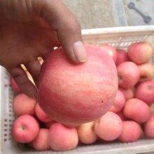 红富士苹果批发产地价格最低图片