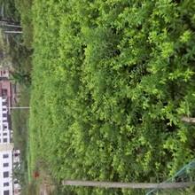 鄂尔多斯银妃三华李树苗厂家图片