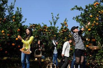10月上海长兴岛桔园摘桔子(畅吃)环岛骑行团队活动美味农家乐