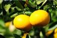 礼盒装甜桔柚11月份上市特价批发