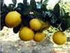建阳桔柚属于有机绿色食品大量上市