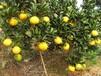 纯天然正宗建阳桔柚