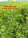 酸枣仁树苗,药都亳州中药材酸枣仁树苗,品种纯正,价格实惠