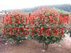 红叶石楠苗圃价格/红叶石楠基地基地价格