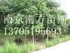 香樟树价格走势/南京香樟树价格(南京南方苗圃场)