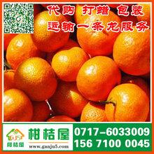 湖北秭归特早蜜桔产地直销_秭归早熟柑橘批发市场图片
