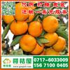 苏州市工业园特早柑橘代收价格_工业园早熟柑桔水果价格