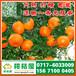 和田屯恳特早密橘价格行情_屯恳早熟柑桔农贸市场