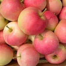 那种苹果最甜最好吃山东红露苹果基地大量供应图片
