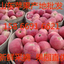杭州红富士苹果供应红将军苹果产地今日苹果批发价格图片