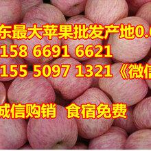 山东冰糖心苹果价格图片
