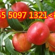 红富士苹果供应山东美八苹果批发图片