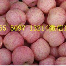 红富士苹果图片山东红富士苹果主要产区图片