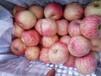 广西红富士苹果产地条纹红富士苹果价格