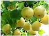 益阳黄金梨产地