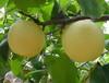 双鸭山黄金梨产地