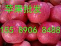 霍山县陕西苹果代办红富士苹果果园现摘图片