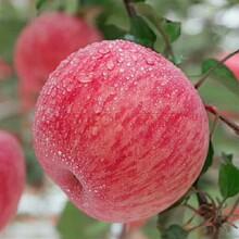 山东苹果基地高原红苹果产区滞销图片