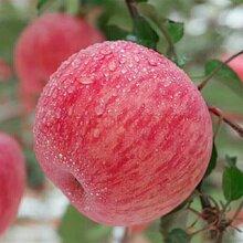 靈璧縣紅富士蘋果產地山東誠信果蔬購銷中心圖片